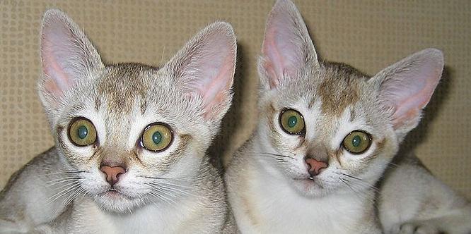 Ашера  самая дорогая и самая большая домашняя кошка